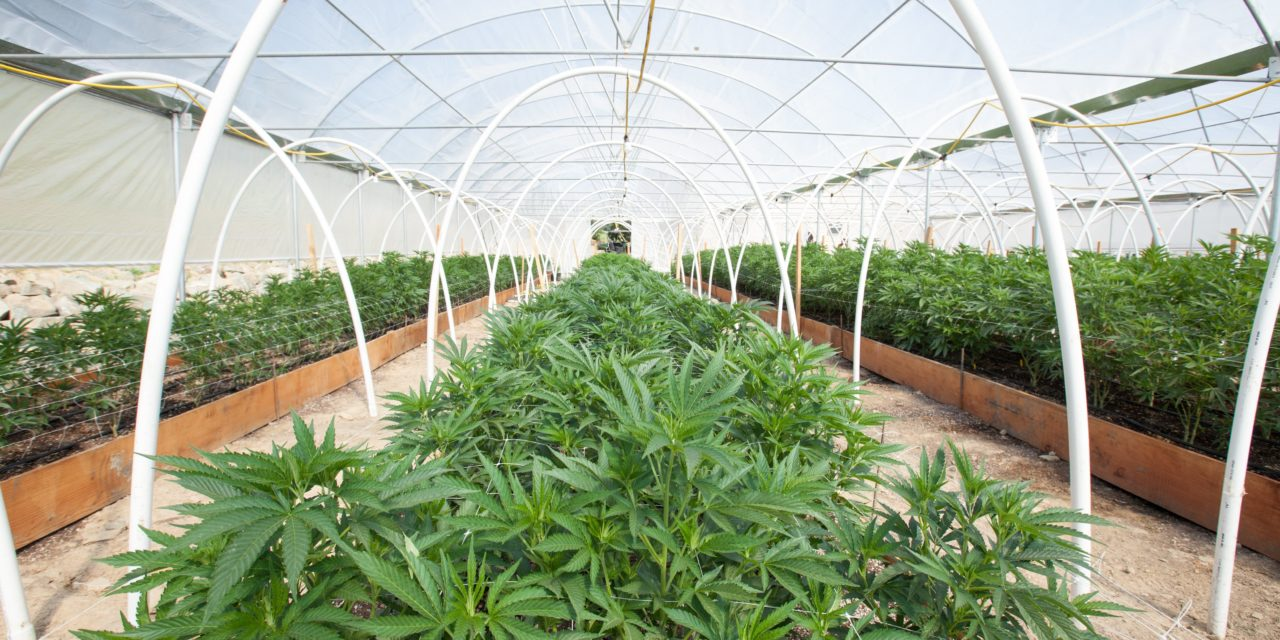 https://www.hidrolab.com/wp-content/uploads/2021/08/cannabis-1280x640.jpeg